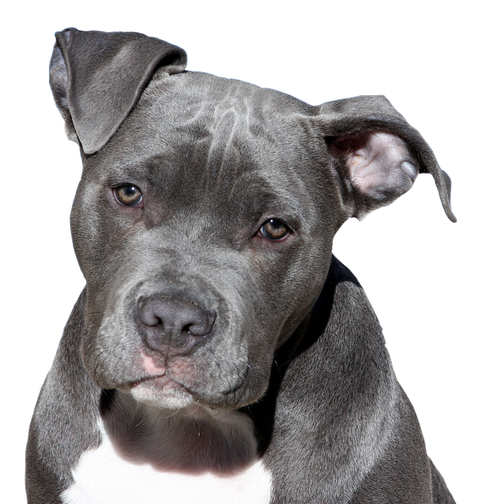 Pit Bull Colors - Dogs Love Us More