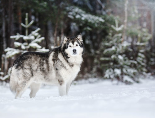 The Alaskan Malamute